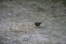 Merel vrouwtje - Blackbird female 1