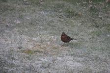Merel vrouwtje - Blackbird female 2