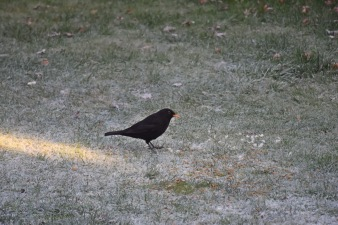 Merel mannetje - Blackbird male 2