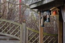 Roodborstje - European robin 3