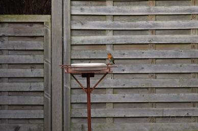 Roodborstje - European robin 5