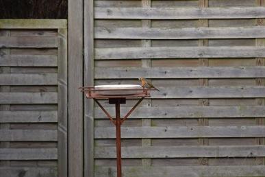 Roodborstje - European robin 6