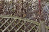 Roodborstje - European robin 7