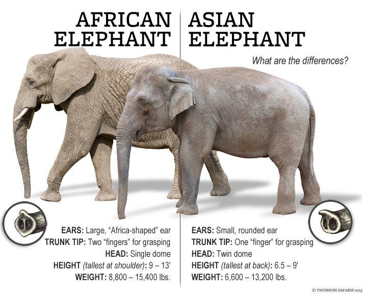 Illustratie Afr. en Az. olifant2